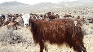 تحقیق و پژوهش-پرورش گوسفند و بز-در 120 صفحه-docx