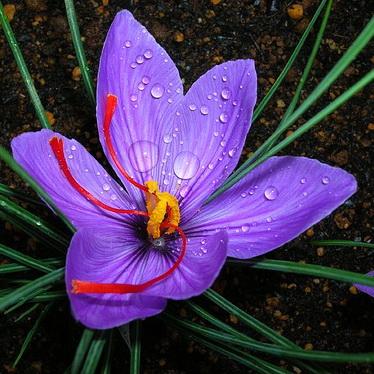 دانلود طرح توجیهی کشت و پرورش زعفران