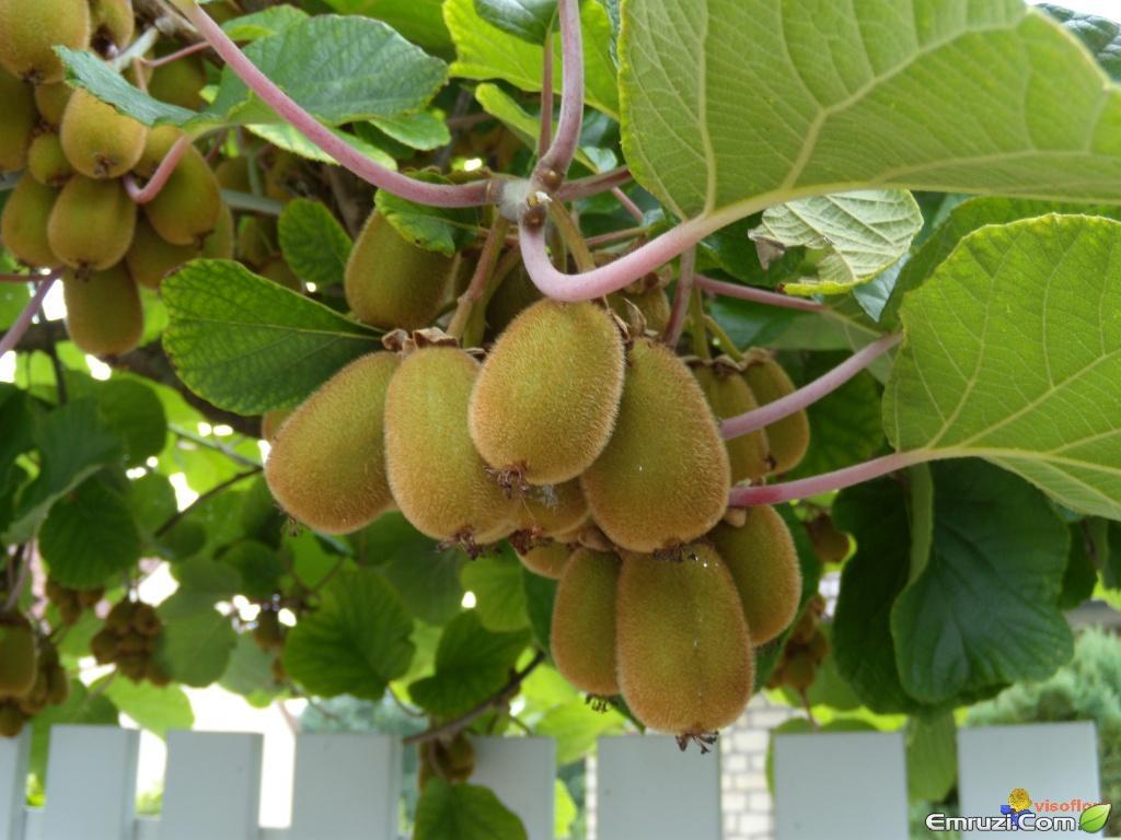 پرورش میوه ی کیوی